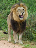 Fierce Nossob. The Big Male Lion Sneers at the photographer royalty free stock photo