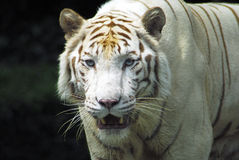 Fierce Rare White tiger. Rare endangered white tiger with threatening ravenous stare stock photography
