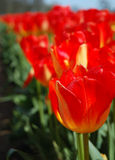 Fierce Red Tulips. Red and yellow tulips growing in a row at springtime royalty free stock photos