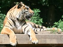 Fierce Tiger. A growling tiger looking off into the distance Royalty Free Stock Photos