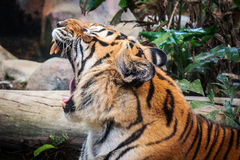 Fierce tiger Ground black background A beautiful light Royalty Free Stock Image