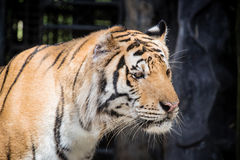Fierce tiger Ground black background A beautiful light Royalty Free Stock Photography