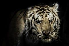 Fierce tiger Ground black background A beautiful light Stock Photo