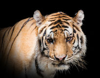 Fierce tiger Ground black background A beautiful light. Close-up of a Tiger face royalty free stock images