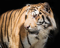 Fierce tiger Ground black background A beautiful light. Close-up of a Tiger face royalty free stock photo