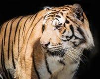 Fierce tiger Ground black background A beautiful light Royalty Free Stock Photo