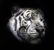 Fierce tiger Ground black background A beautiful light. Close-up of a Tiger face royalty free stock image