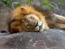 Fierceness at rest Stock Photo