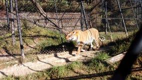 Fierlessness des tigres de Nainital Images libres de droits