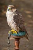 Fiero ed avido appollaiati falco fotografie stock libere da diritti