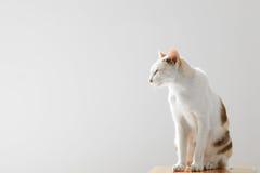 Fiero gatto Immagine Stock