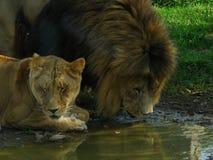 Fierté africaine de lion buvant au trou d'eau Photos stock