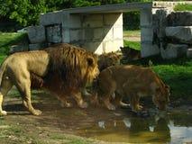 Fierté africaine de lion buvant au trou d'eau Photographie stock libre de droits