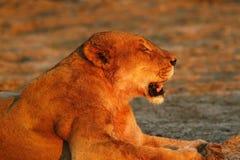 Fierté de l'Afrique le lion majestueux Images stock