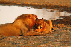 Fierté de l'Afrique le lion majestueux photographie stock libre de droits