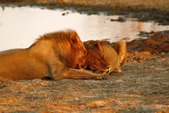 Fierté de l'Afrique le lion majestueux photos libres de droits