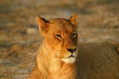 Fierté de l'Afrique le lion majestueux Photographie stock