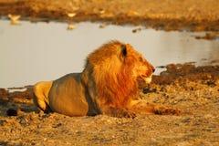 Fierté de l'Afrique le lion majestueux Photo libre de droits