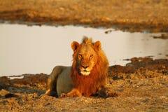 Fierté de l'Afrique le lion majestueux Image stock