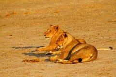 Fierté de l'Afrique le lion majestueux Image libre de droits