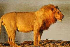 Fierté de l'Afrique le lion majestueux Photos stock