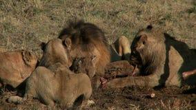 Fierté de la consommation de lions banque de vidéos