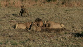Fierté de la consommation de lions clips vidéos