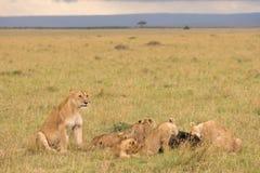 Fierté de lion à une mise à mort images stock