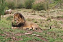 Fierté de lion Photographie stock libre de droits