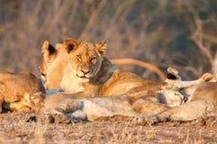 Fierté de lion dans Kruger NP images stock
