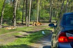 Fierté de lion près de la voiture en parc de Serengeti, Allemagne Photographie stock libre de droits