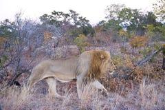 fierté de mâle de lion Photo libre de droits