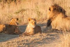 Fierté des lions Image libre de droits