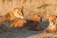 Fierté des lions Image stock