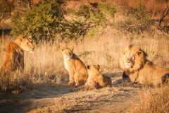 Fierté des lions Photographie stock libre de droits