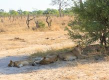 Fierté des lions abritant du soleil en parc national de Hwange, Zimbabwe images libres de droits