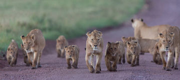 Fierté des lions africains dans le cratère de Ngorongoro en Tanzanie images stock