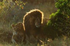 Fierté des lions au Kenya photos libres de droits