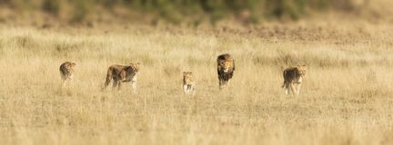 Fierté des lions dans le masai Mara Photographie stock