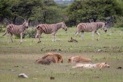 Fierté des lions dormant devant des zèbres Photographie stock libre de droits