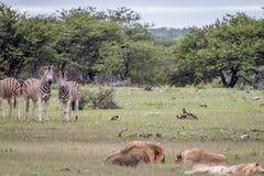 Fierté des lions dormant devant des zèbres Image libre de droits