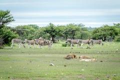 Fierté des lions dormant devant des zèbres Photographie stock