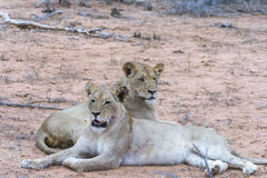 Fierté des lions en parc national de Ger de plus grand ¼ de KrÃ, Afrique du Sud Photo libre de droits