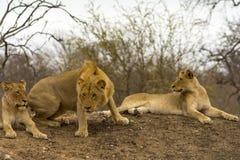 Fierté des lions en parc national de Ger de plus grand ¼ de KrÃ, Afrique du Sud Image libre de droits