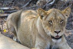 Fierté des lions en parc national de Ger de plus grand ¼ de KrÃ, Afrique du Sud Images libres de droits