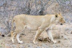 Fierté des lions en parc national de Ger de plus grand ¼ de KrÃ, Afrique du Sud Photo stock