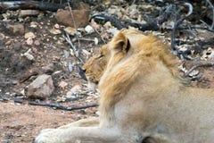 Fierté des lions en parc national de Ger de plus grand ¼ de KrÃ, Afrique du Sud Image stock
