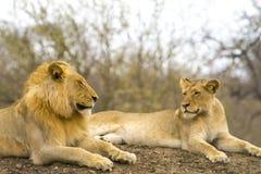 Fierté des lions en parc national de Ger de plus grand ¼ de KrÃ, Afrique du Sud Photos libres de droits