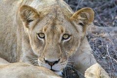 Fierté des lions en parc national de Ger de plus grand ¼ de KrÃ, Afrique du Sud Images stock