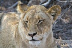 Fierté des lions en plus grand parc national de Kruger, Afrique du Sud Images libres de droits